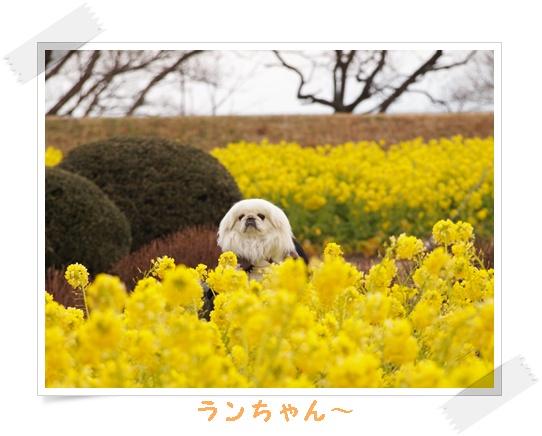 2012菜の花 o-1