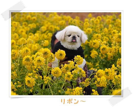 2012菜の花 p-111
