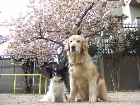 公園の牡丹桜♪