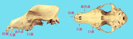 犬の歯並び