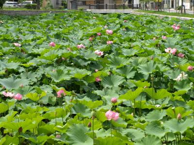 上杉神社のお堀に咲く蓮