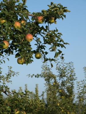 りんごの木@長野県中野市
