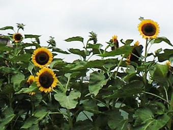 himawari_20110715102351.jpg