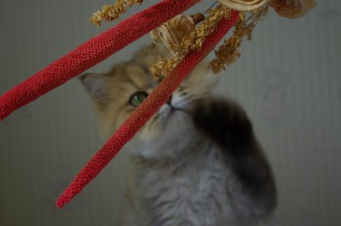 琥珀(猫)