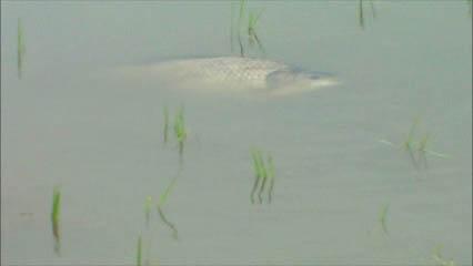 産卵のために田んぼへ遡上してきて回遊している親魚
