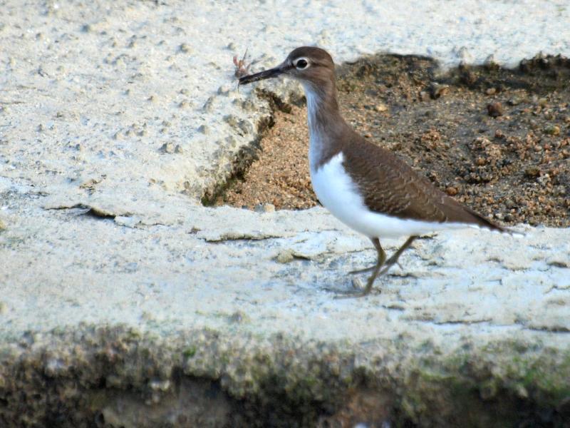 西条市 野鳥 イソシギ