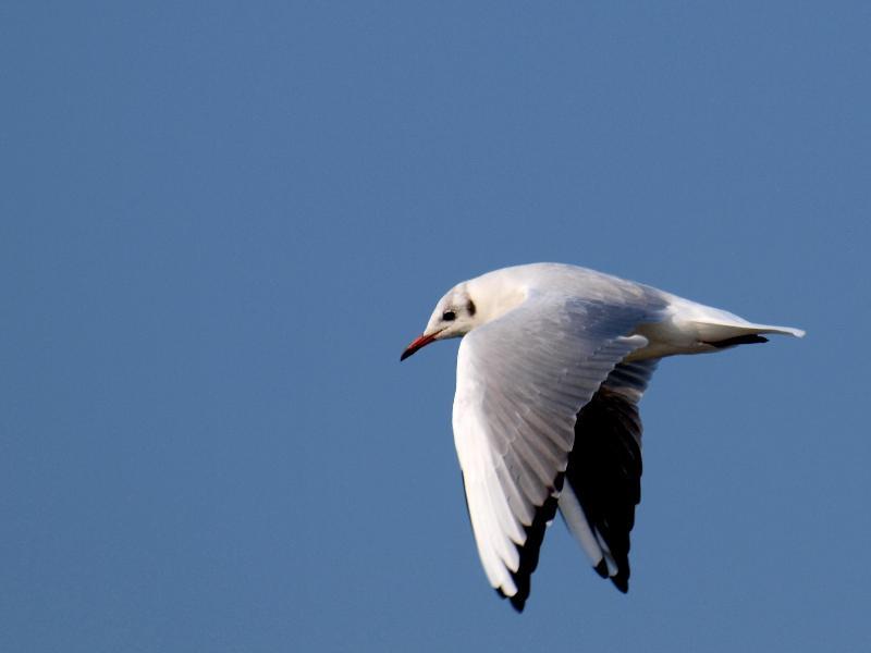 西条市の野鳥 ユリカモメ