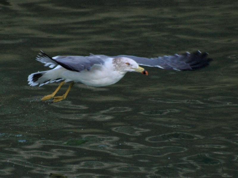 西条市の野鳥 オオセグロカモメ