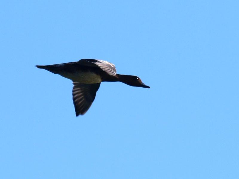 西条市の野鳥 ヒドリガモ