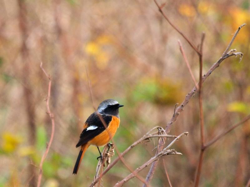 西条市 野鳥 ジョウビタキ
