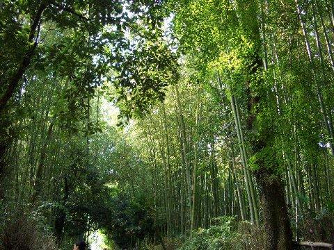 嵐山・嵯峨野④ 竹林の道♪