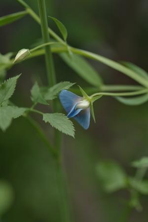 bluesweetpea2011529-1.jpg