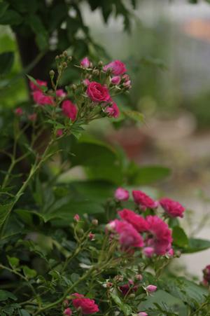 kingrose2011525-5.jpg