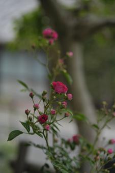 kingrose2011525-6.jpg