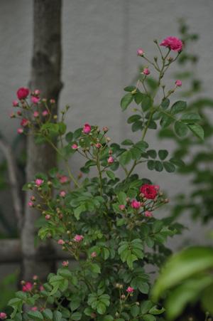 kingrose2011525-7.jpg