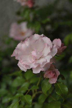 rosendolf2011529.jpg