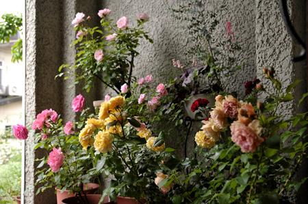 roses2011528-1.jpg