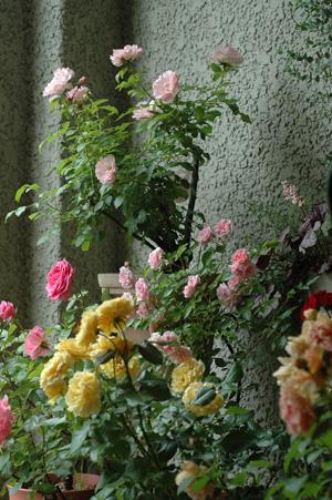 roses2011528-3.jpg