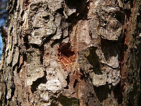 マツノマダラカミキリ産卵痕