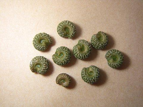 アオツヅラフジ種子
