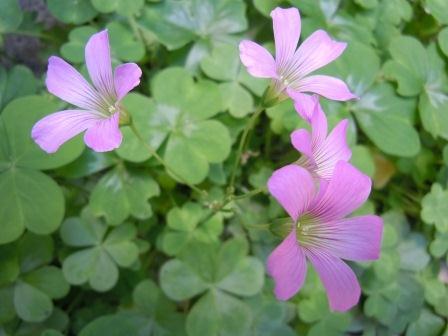 池の花(2011-05-15)