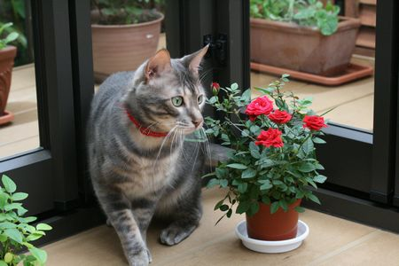 ガーデンルームでバラとティラ1 r