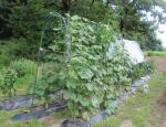 胡瓜とトマト