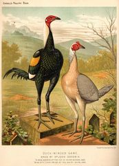 The illustrated book of poultry