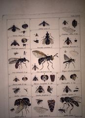 Illustrations de Illustrato iconographica insectorum