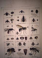 Illustrations de Illustrato iconographica insectorum