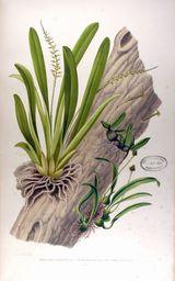 Collection des Orchidees les plus remarquables de l'archipel Indien et du Japon