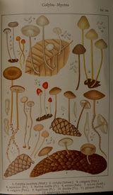 Die Blatterpilze (Agaricaceae)