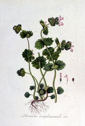 Flora Batava