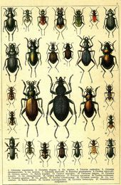 Beetles of Russia