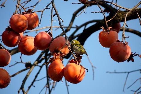 2010-12-22 柿の木 038