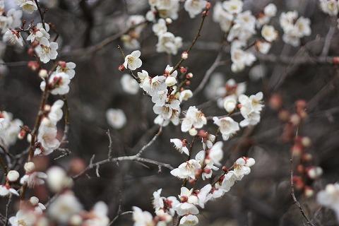 2011-03-03 越生の梅 026