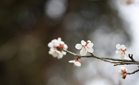 2011-03-03 越生の梅 057