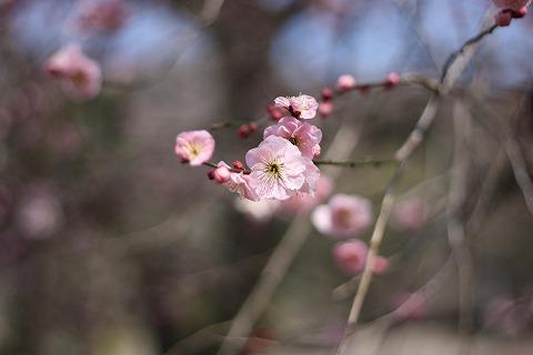 2011-03-09 裏高尾梅林 044