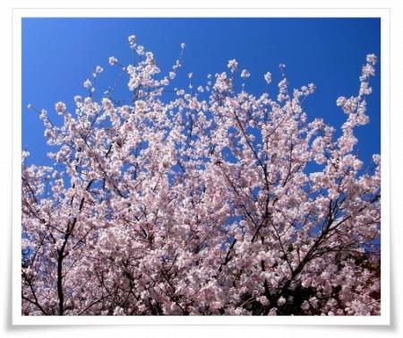 2011-04-04 笠幡の桜 (2)