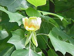 250px-Liriodendron_tulipifera2.jpg