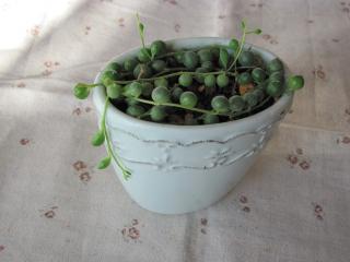 グリーンネックレス鉢植え