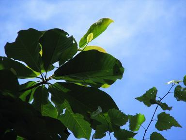 ほうの木・・大空を望む