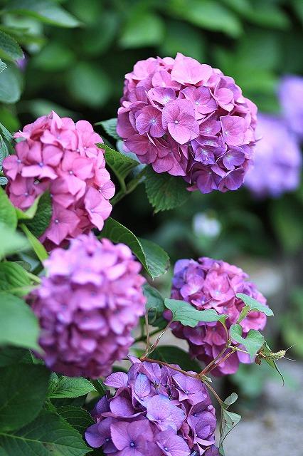 IMG_1543紫陽花