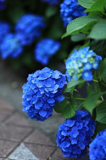 IMG_1559紫陽花