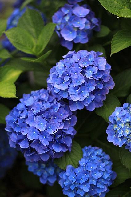 IMG_1566紫陽花