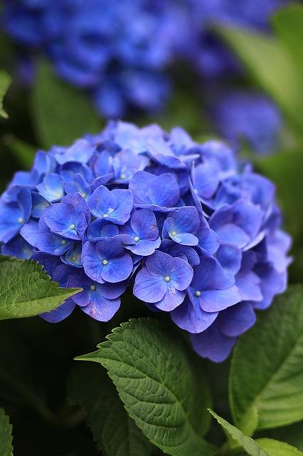 IMG_1569紫陽花