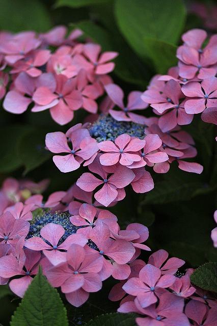 IMG_1572紫陽花