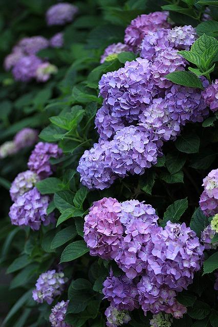IMG_1579紫陽花