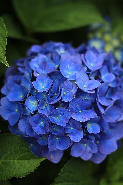 IMG_1592紫陽花