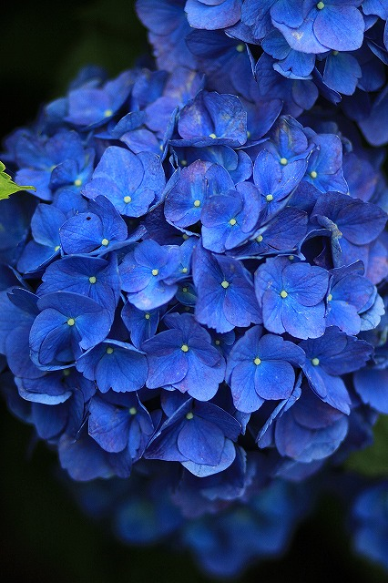 IMG_1595紫陽花